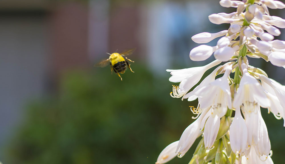 A bumblebee flies next to a white flower with a blurred-out background.