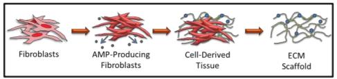 diagram of how firbroblasts create ECM Scaffold