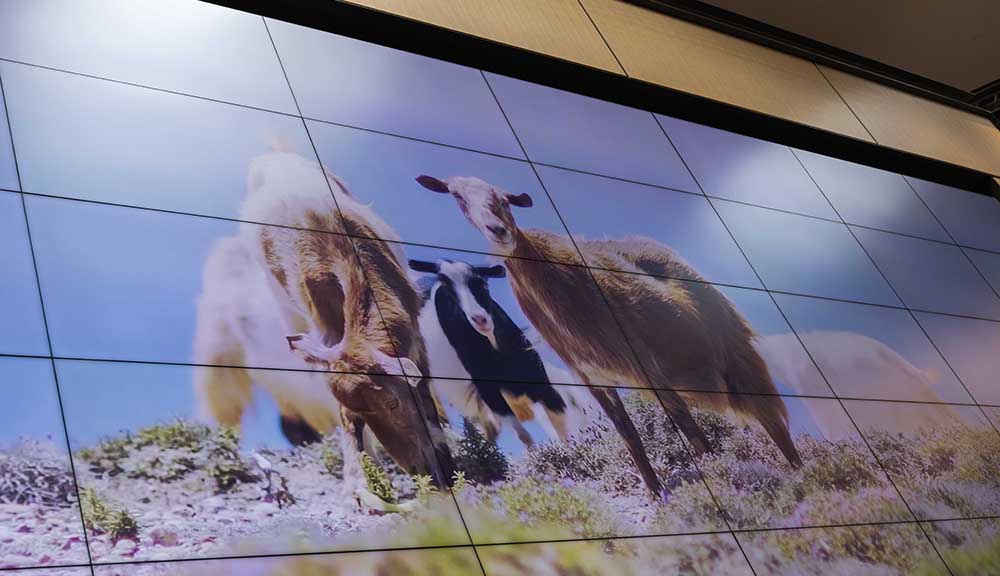 A photo of goats outside is displayed on the two-story video wall in the Foisie Innovation Studio.