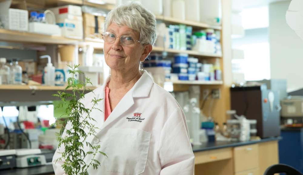 WPI biologist Pamela Weathers with the plant Artemisia annua, or sweet wormwood, which performed better that the frontline drug against the tropical disease schistosomiases in a clinical trial she helped run in Africa.