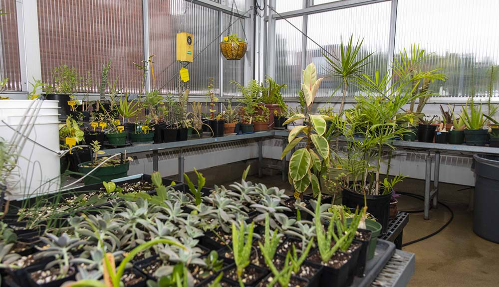 Shelves of some of the plants in the greenhouse atop Salisbury Labs, with clear panes behind them.