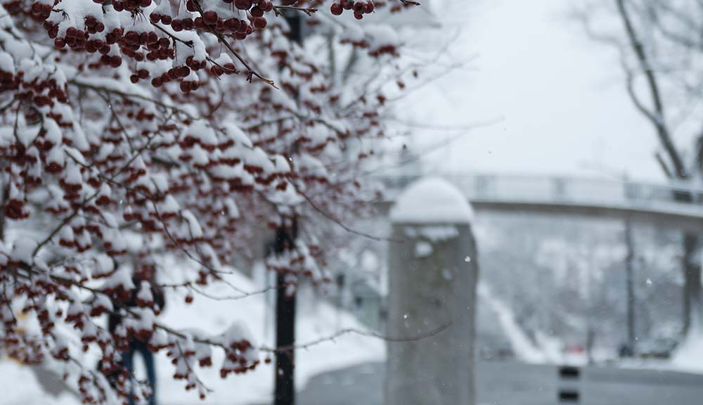 A close up photo of red berries covered in snow on a tree with a stone pillar and Earle Bridge in the background.