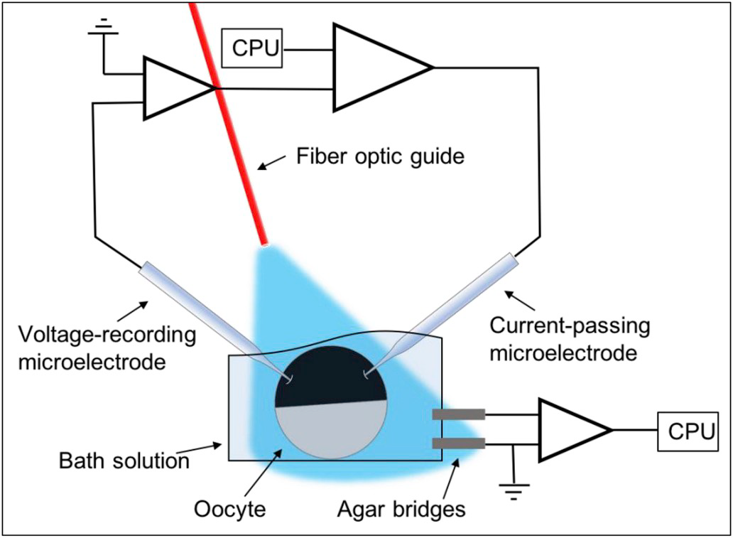 Schematic of two-electrode voltage clamp experimental set-up.