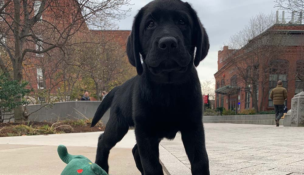 Sampson the black lab puppy looks at the camera in the middle of campus.
