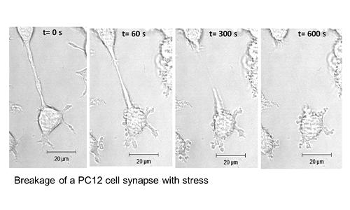Does mechanical stress facilitate muscle-neuron integration? alt