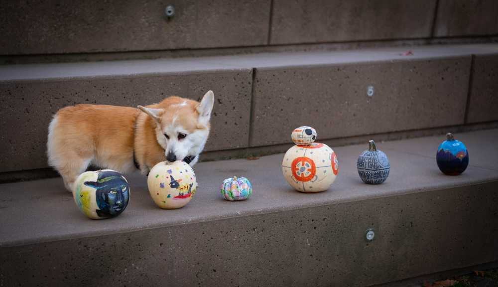 Hudson the corgi sniffs a painted pumpkin on the concrete steps of the Morgan Wedge.