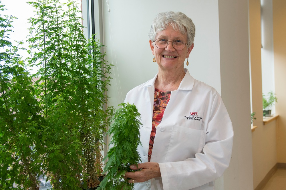 Early Research Finds Extracts from Sweet Wormwood Plant Can Inhibit the COVID-19 Virus - WPI News