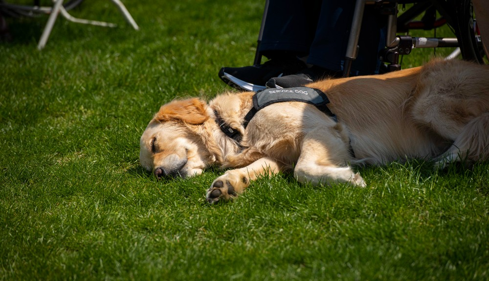 """A dog wearing a """"service dog"""" vest relaxes on the grass during Commencement."""