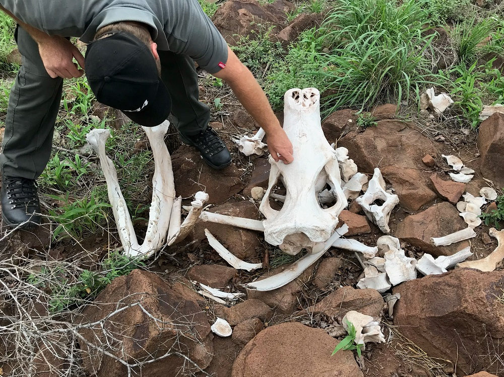 Rhinoceros bones in a field