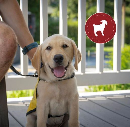 Leo, Phi Kappa Theta's new guide dog trainee alt