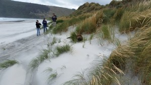 Jessica Desmond, Andrew Egger and Thomas Nuthmann observe a sea lion in the dunes