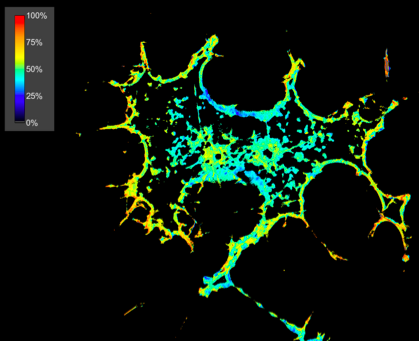 Suzanne Scarlata's lab uses advanced fluorescence microscopy techniques to study membrane signaling events involving G-protein coupled receptors. In this case FRET images of PC12 cells over-expressing eCFP-Gqα and eCYP-Phospholipase Cβ1. The high FRET intensity at the membrane (yellow/red color) indicates that Gqα/PLCβ1β dimer formation at the plasma membrane.