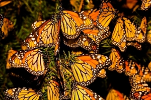 Monarch butterflies at the end of their 2,000-mile migration