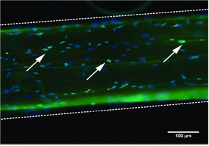Human mesenchymal stem cells on a microthread; cells in green are in the process of dividing.