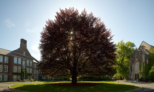A photo of the beech tree in the middle of campus, with the sun shining behind it.