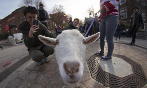 A white goat looks at the camera near the fountain while a student takes a photo of it with a cell phone.