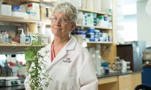WPI biologist Pamela Weathers with the plant Artemisia annua, or sweet wormwood, which performed better that the frontline drug against the tropical disease schistosomiases in a clinical trial she helped run in Africa. alt